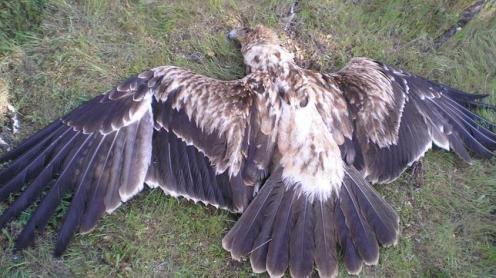 Spanish_Imperial_eagle_FSaura--644x362